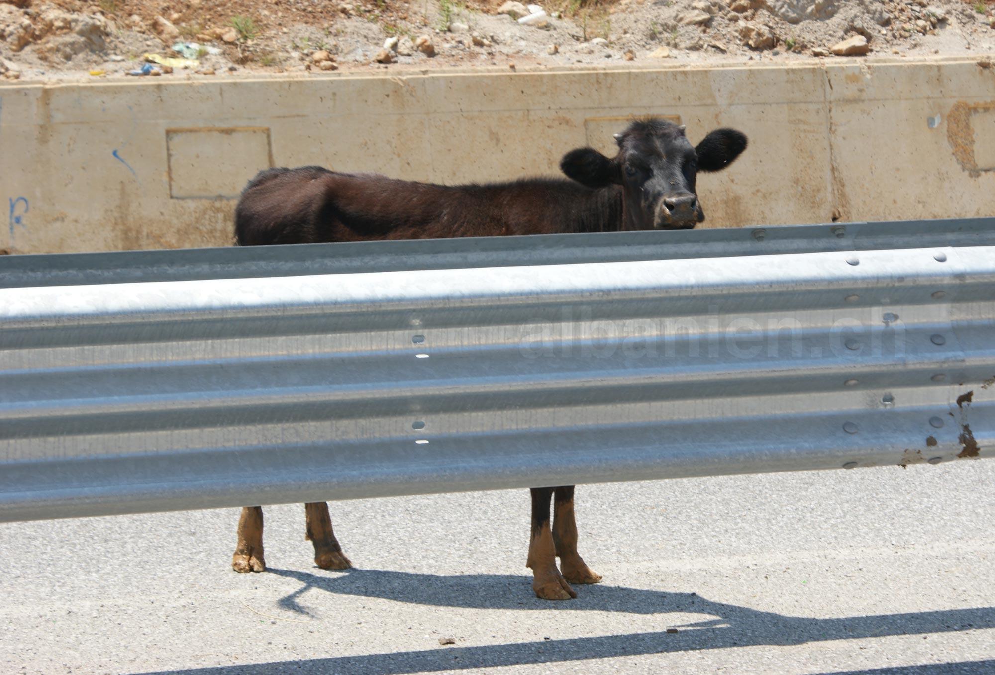 Kuh auf Autobahn