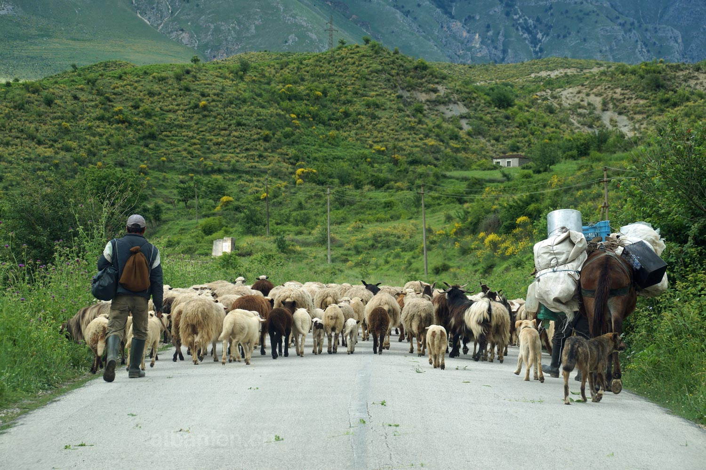 Schafherde auf Strasse