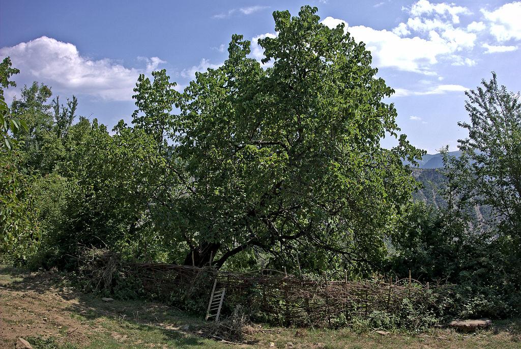 Maulbeerbaum in Ogren