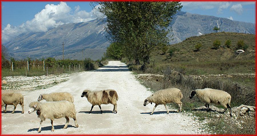 Schafe auf Landstrasse
