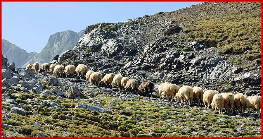 Schafe in den Albanischen Alpen